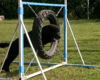 Curlie beim Sprung durch den Reifen